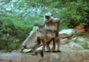 Monkeys fucking like crazy on cam
